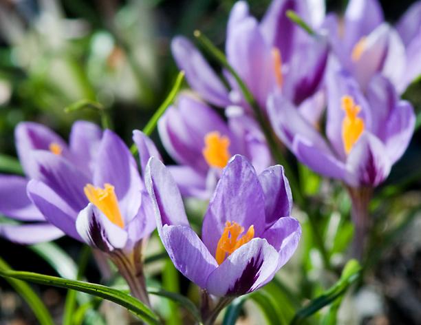 Crocus isauricus Spring Beauty_web