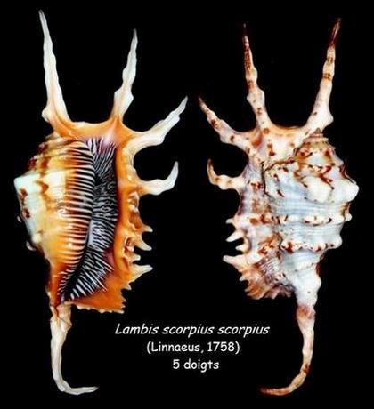 Lambis scorpius - (Linnaeus, 1758) - Page 2 14051211390114587712232762