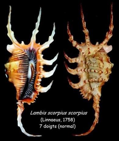Lambis scorpius - (Linnaeus, 1758) - Page 2 14051211390214587712232763