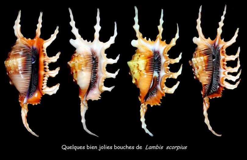 Lambis scorpius - (Linnaeus, 1758) - Page 2 14051211390414587712232764