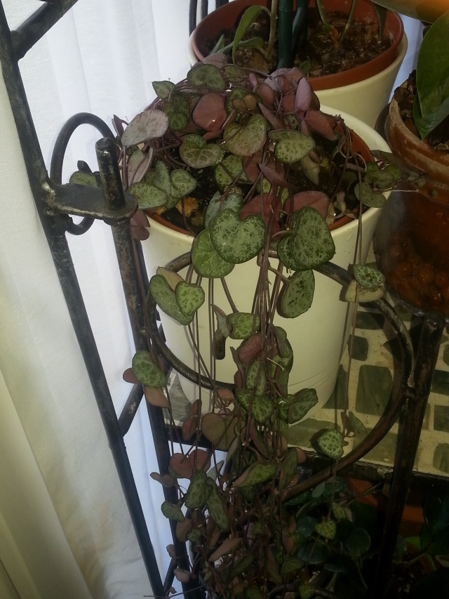 Ceropegia woodii en fleurs 14051808162816177712247648