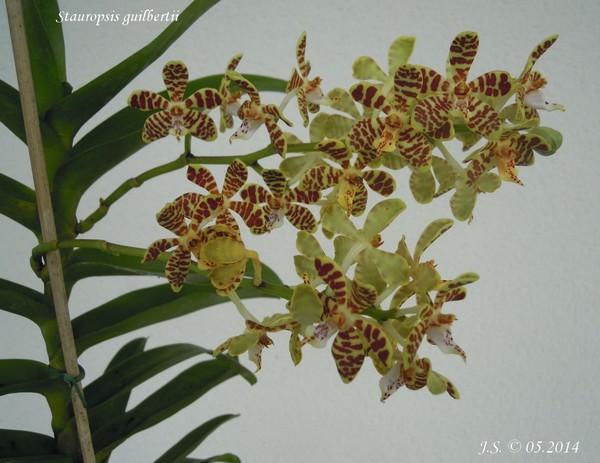 Stauropsis guilbertii 14051911371711420012249036