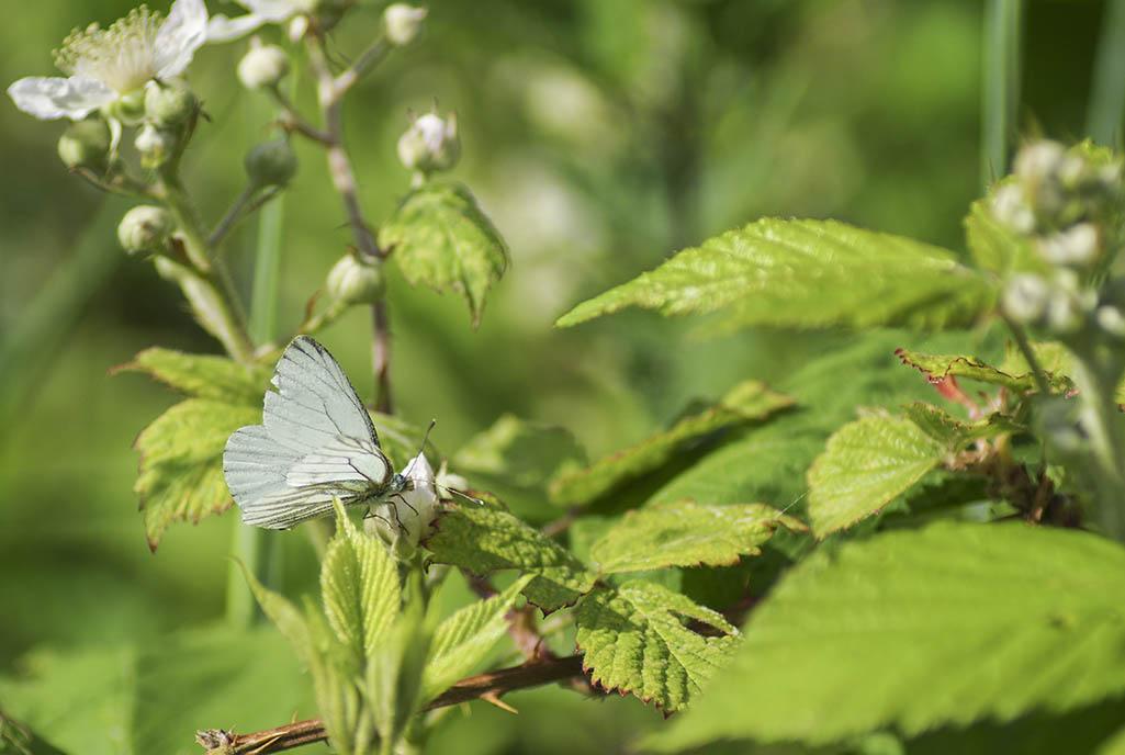 Papillon, coléoptère, Bourdon  et Syrphe 14052406420217155812263038