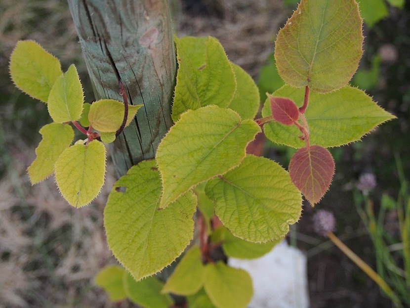 kiwi actinidia autofertile feuilles jaunes au jardin. Black Bedroom Furniture Sets. Home Design Ideas