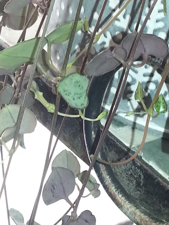 Ceropegia woodii en fleurs 14062008230016177712332607