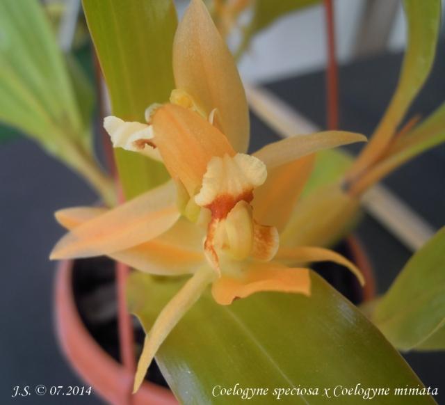 Coelogyne speciosa x Coelogyne miniata 14080912121111420012440906