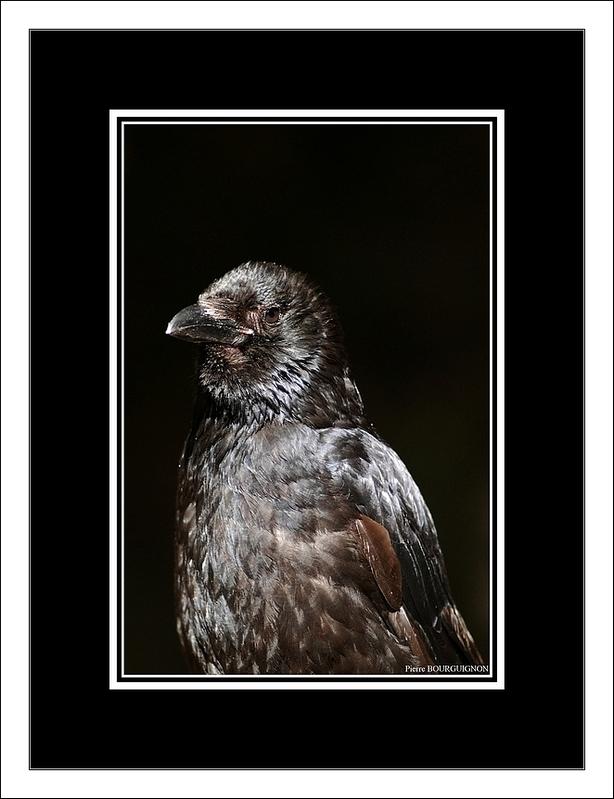 Corneille noire (Corvus corone) par Pierre BOURGUIGNON, photographe animalier, Belgique