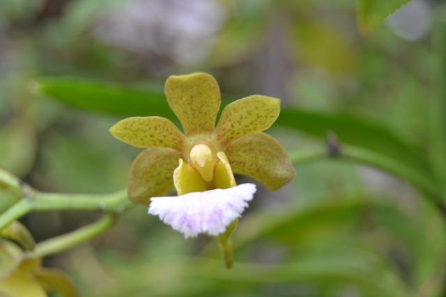 Christensonia vietnamica x Aerides flabellata 14082806534916191812483501