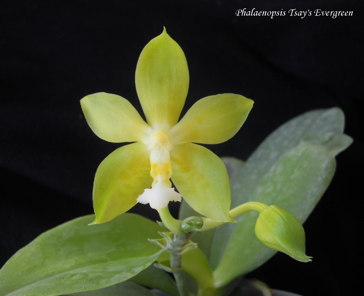 Phalaenopsis Tsay's Evergreen 14091409425111420012522515