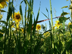couverts végétaux 2014 - P1060279