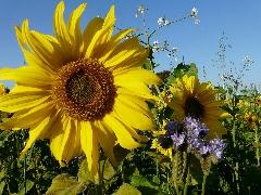 couverts végétaux 2014 - P1060285
