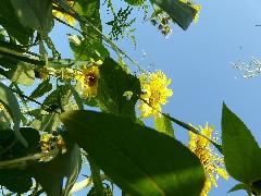 couverts végétaux 2014 - P1060289