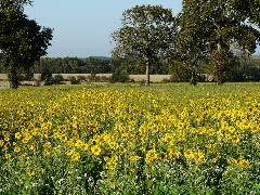 couverts végétaux 2014 - P1060270