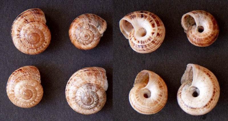 Xerosecta cespitum (Draparnaud, 1801) - Page 2 14112004252614587712721551