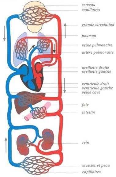 complexe circulation du sang