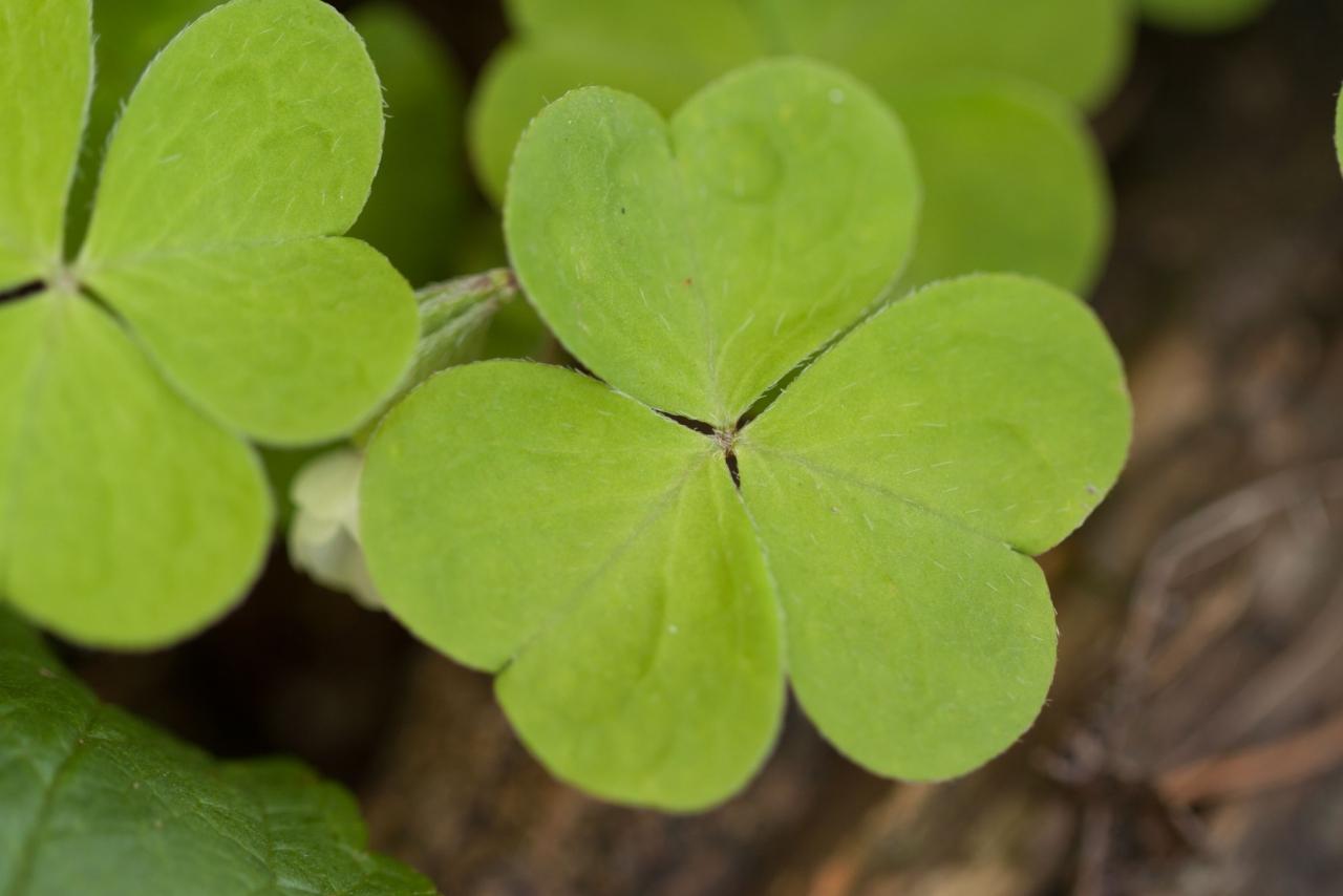 feuilles de petite oseille