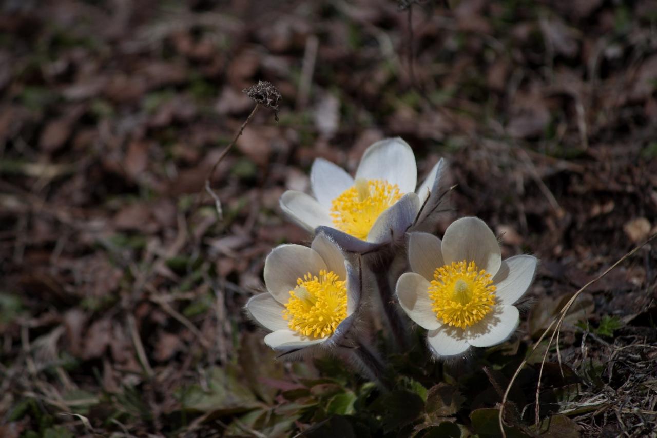 Pulsatille de printemps