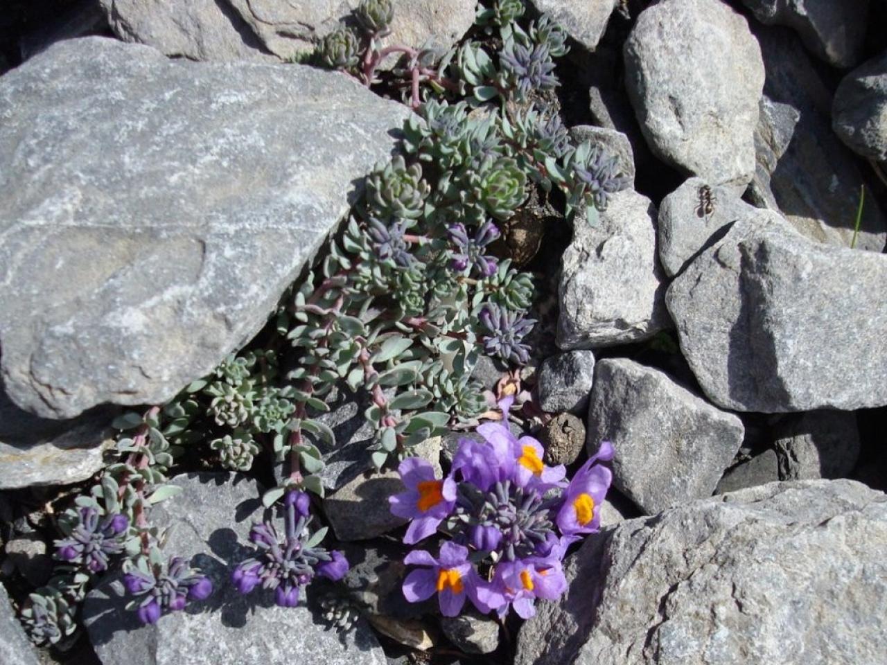linaire alpine vu autour du Gantrisch