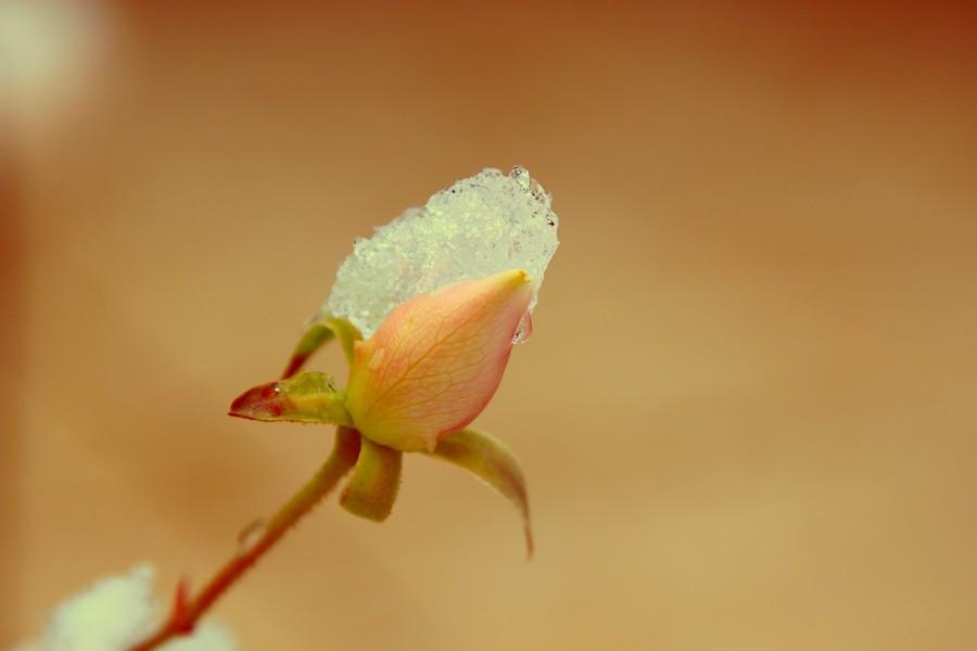 Rose de Noël ? 150209110015453212946282