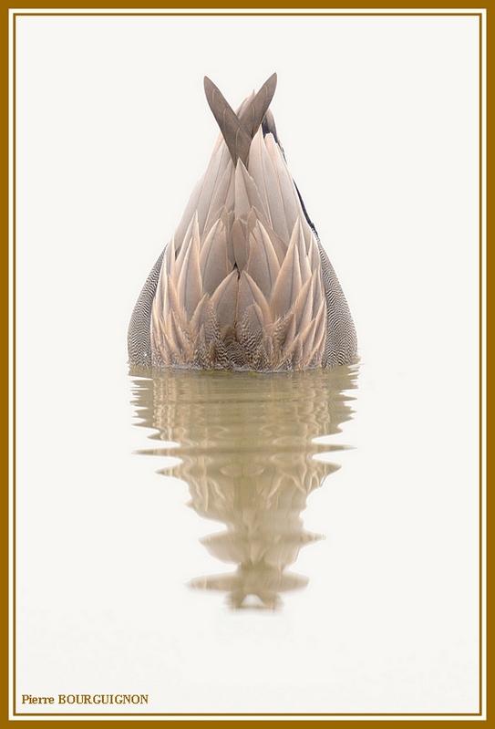 Canard chipeau (Anas strepera) par Pierre BOURGUIGNON, photographe animalier