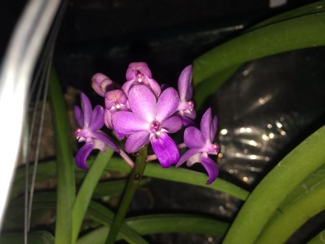 Rhynchodenia Magic Wand 2015  15022608055116852213014238