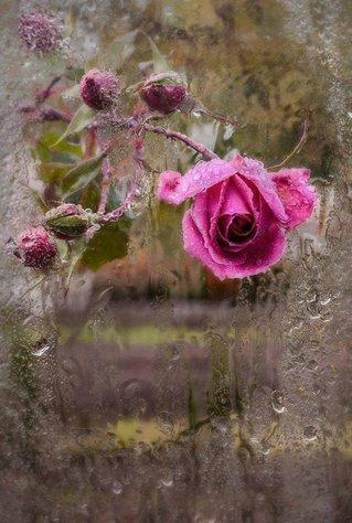 ____________________________________________________________rose sous la pluie. dans fleurs 15030507480914696013036181