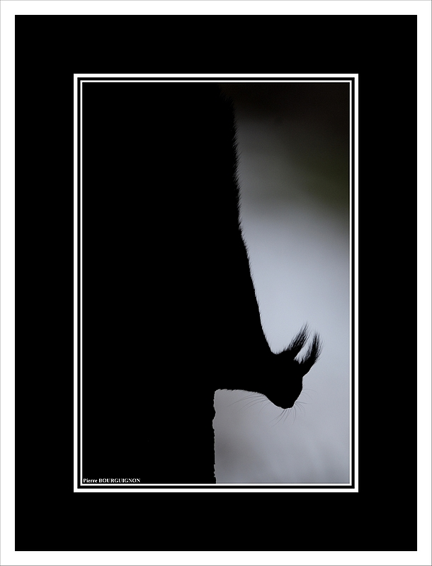 Ecureuil roux (Sciurus vulgaris) par Pierre BOURGUIGNON, photographe animalier