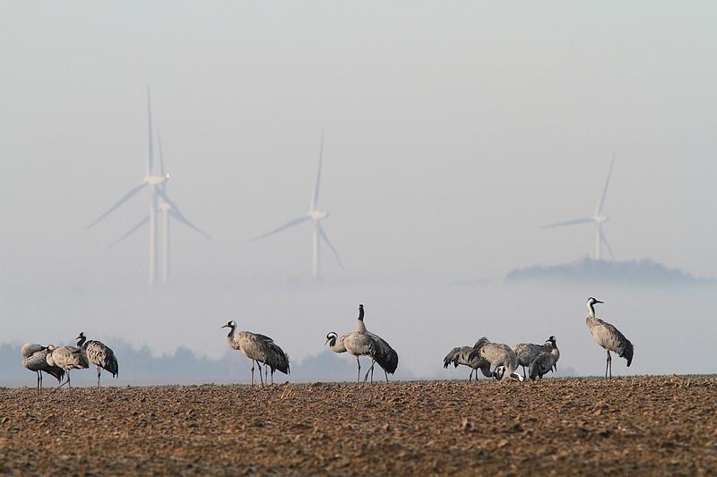 Des éoliennes et des grues 15030711045017878013042299