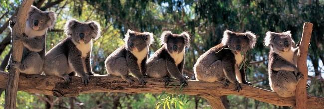 ------------------------------------------------------------------------------si sympathiques ces koalas. dans animaux 15031808471414696013081643