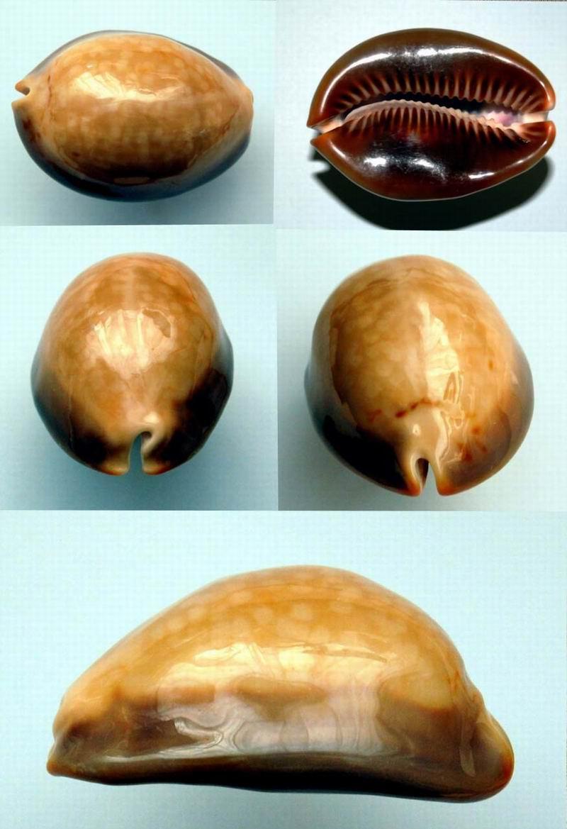 Mauritia mauritiana - (Linnaeus, 1758) 15040703543314587713149187