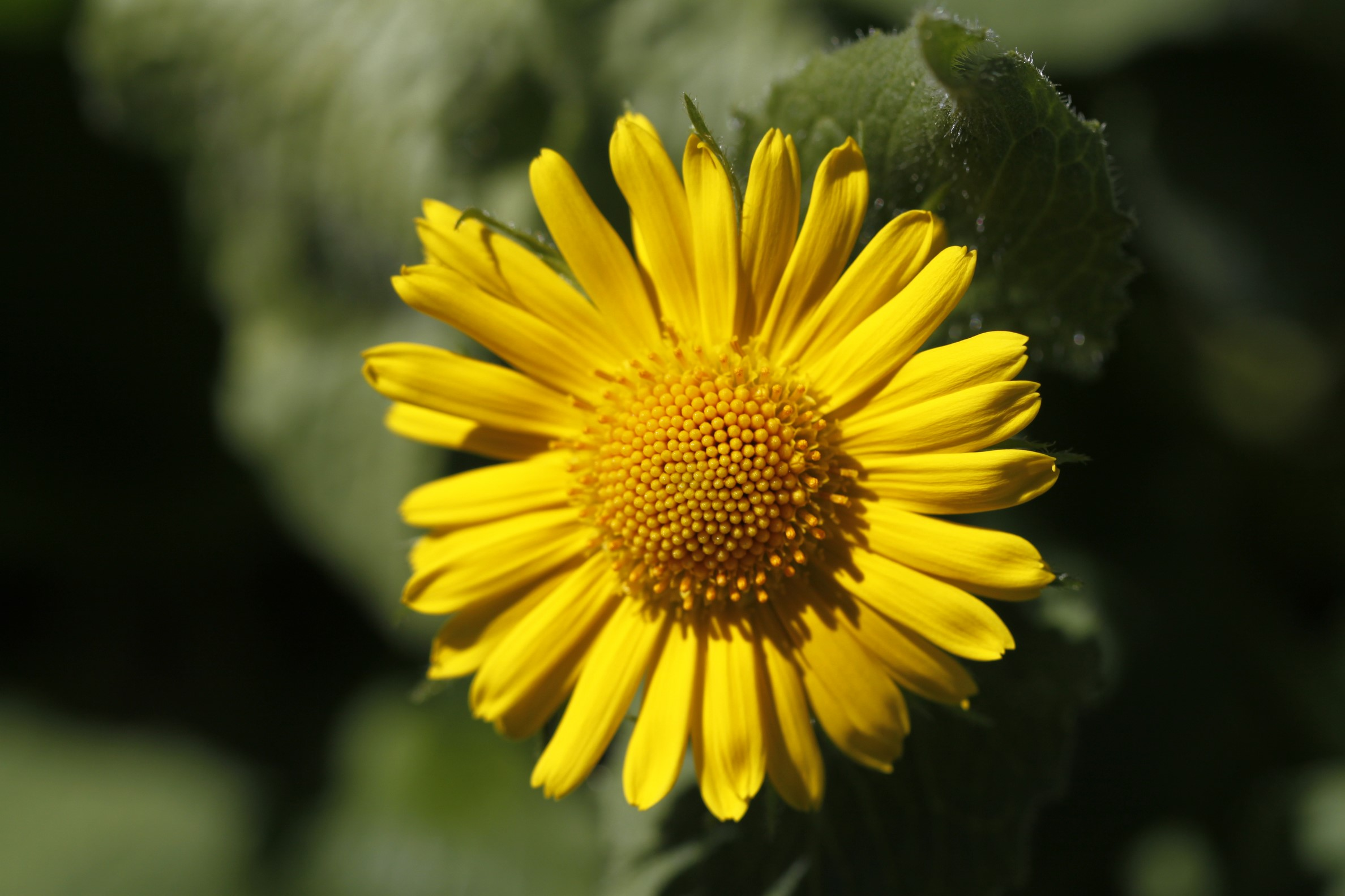 doronic à grandes fleurs vu à Bounavalette