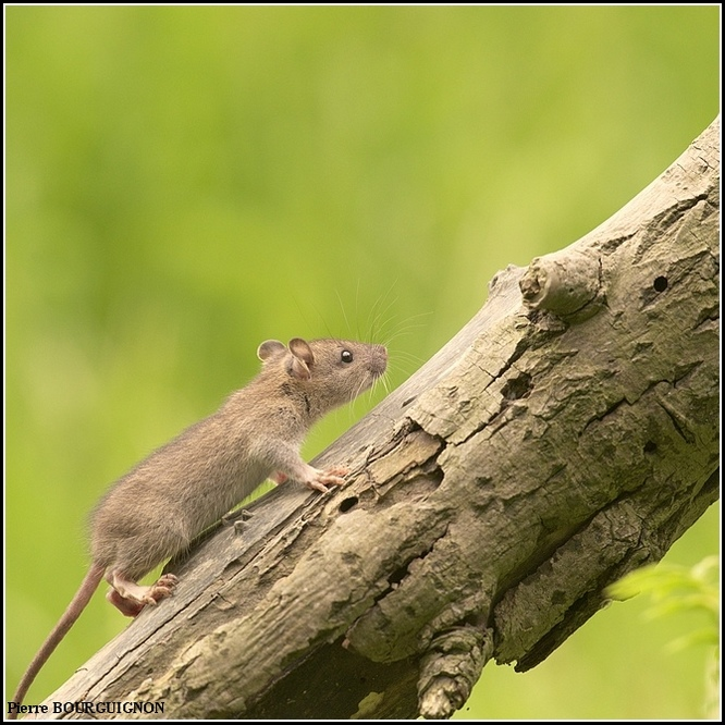 Rat brun, surmulot (Rattus norvegicus) par Pierre BOURGUIGNON, photographe animalier belge