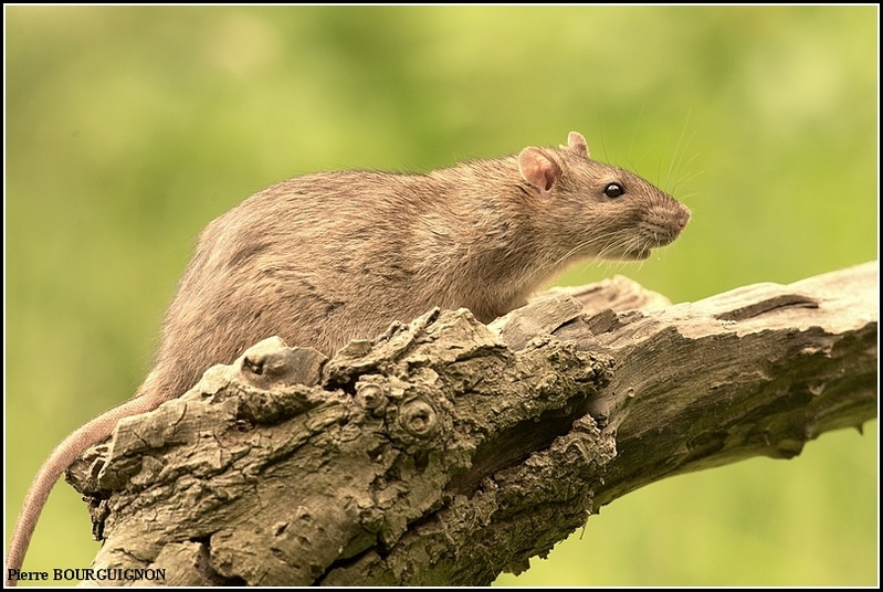 Rat brun, surmulot (Rattus norvegicus) par Pierre BOURGUIGNON, photographe animalier, Belgique