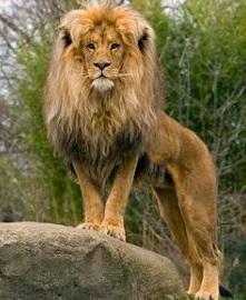 Lion / Deux lions 15060908594619075513347172