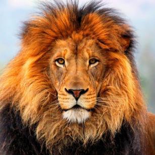 Lion / Deux lions 15060909401319075513347270