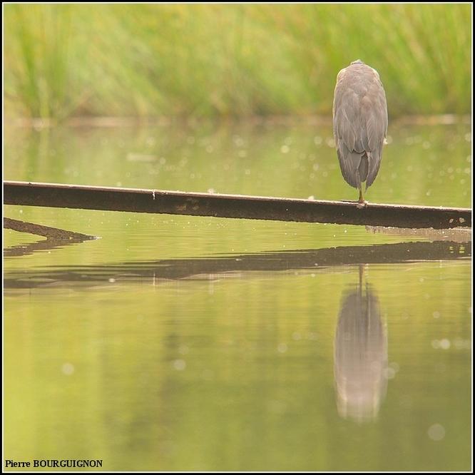 Héron cendré (Ardea cinerea) par Pierre BOURGUIGNON, photographe animalier, Belgique