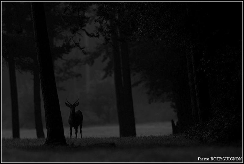 Cerf élaphe (daguet) par Pierre BOURGUIGNON, photographe animalier / Belgique