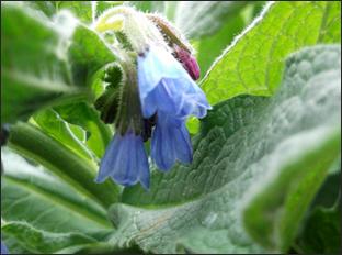 La graine indocile la consoude symphytum spp - Graine de consoude ...