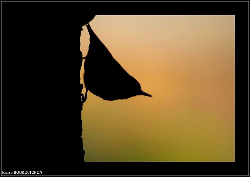 Sittelle torchepot (sitta europaea) par Pierre BOURGUIGNON, photographe animalier belge