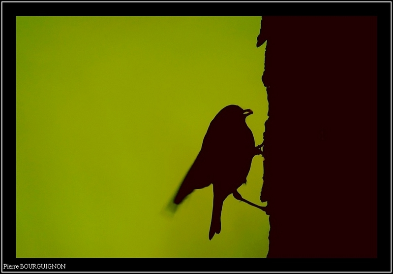Rougegorge (Erithacus rubelica) par Pierre BOURGUIGNON, photographe animalier, Belgique