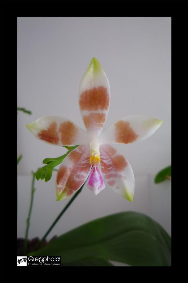 Phalaenopsis amboinensis white x speciosa 15112005170217991313765508