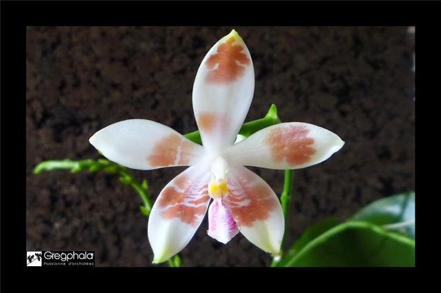 Phalaenopsis amboinensis white x speciosa 15112005172417991313765509