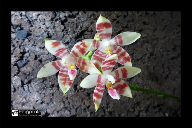 Phalaenopsis amboinensis white x speciosa 15112005181317991313765511