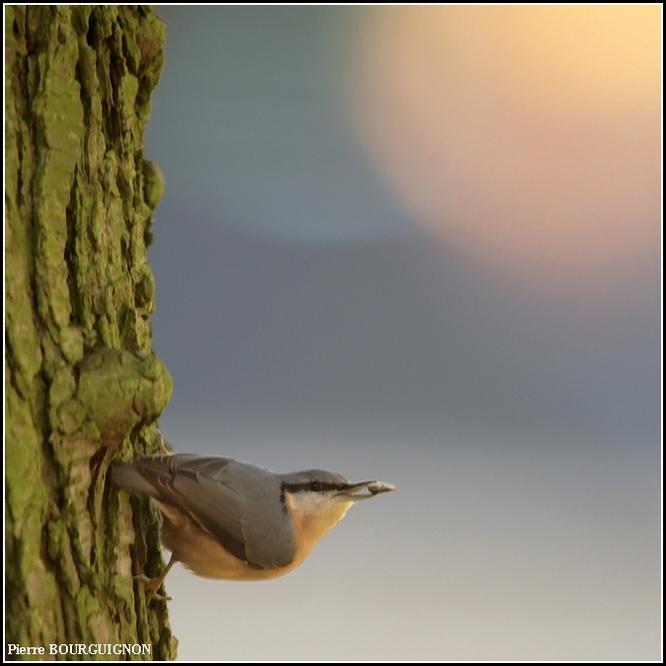 Sittelle torchepot (sitta europaea) par Pierre BOURGUIGNON, photographe animalier, Belgique