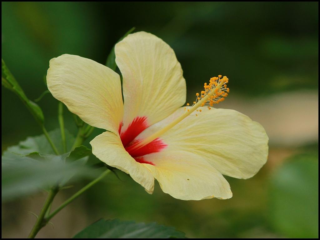 aa-hibiscus-IMG_3220
