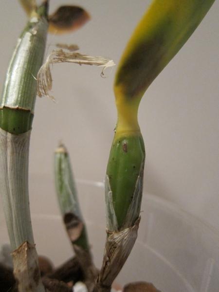 Cattleya malade - taches noires sur les feuilles 15120603510018325013810494