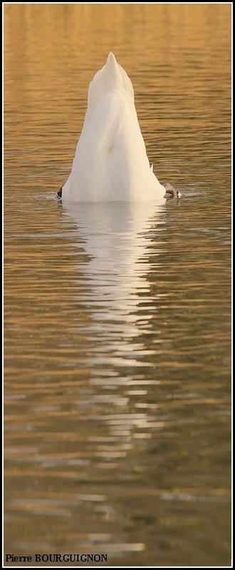 Cygne tuberculé (Cygnus olor) par Pierre BOURGUIGNON, photographe animalier, Belgique