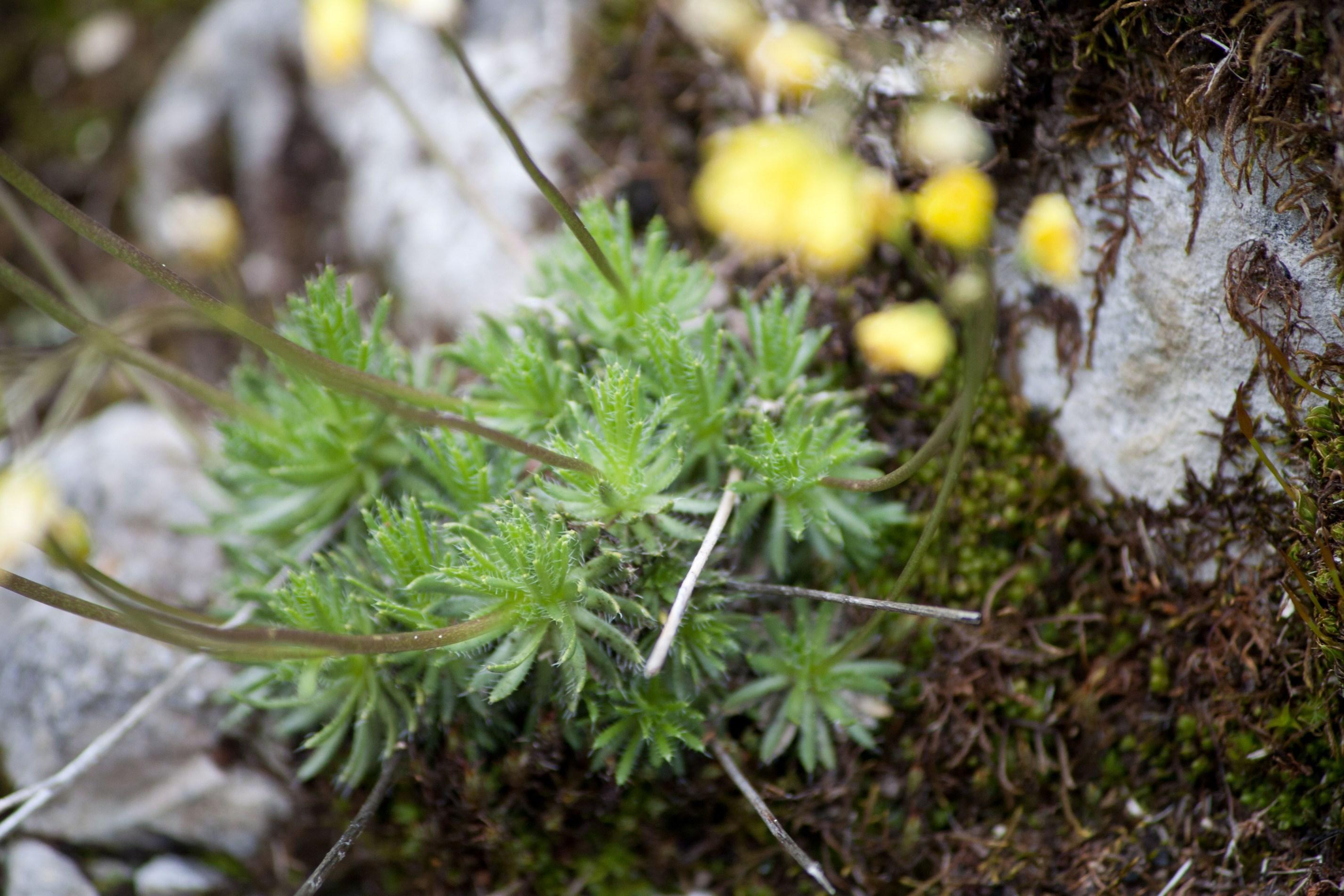 feuilles de Drave aizoon