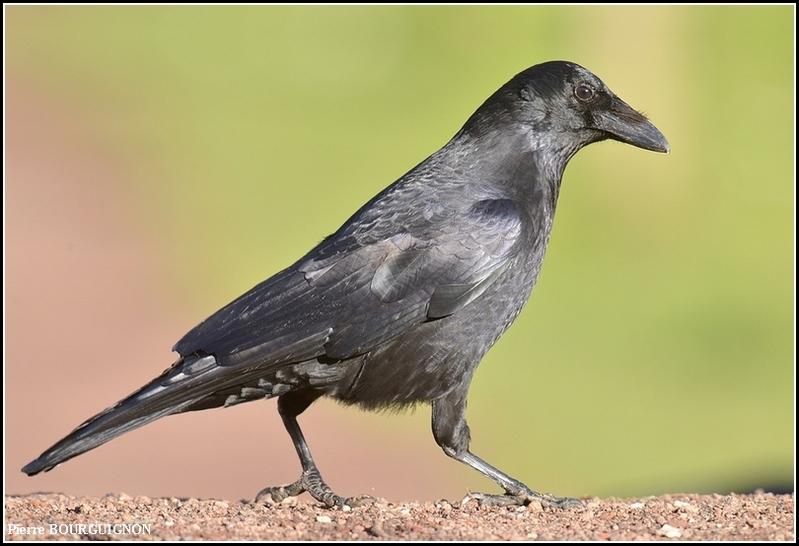 Corneille noire (Corvus corone) par Pierre BOURGUIGNON, photographe animalier belge