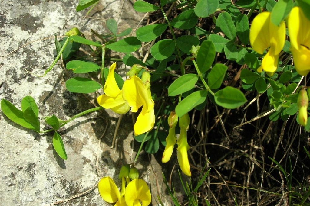 Astragale à fleurs pendantes vu à la Simmenflue